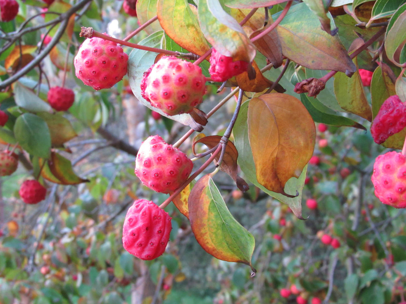 Cornus kousa, red fruit, Autumn, North Wales